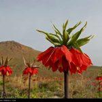 لاله های واژگون بسیار زیبای خوانسار استان اصفهان!+تصاویر