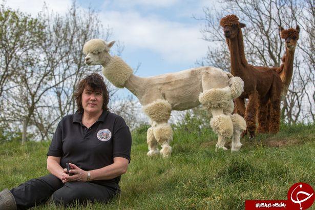 آرایش عجیب شترها در جشنواره پرورش حیوانات غیربومی!