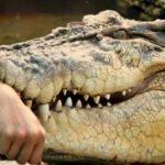 حمله تمساح به دختربچه 10 ساله و نجات معجزه آسای وی!