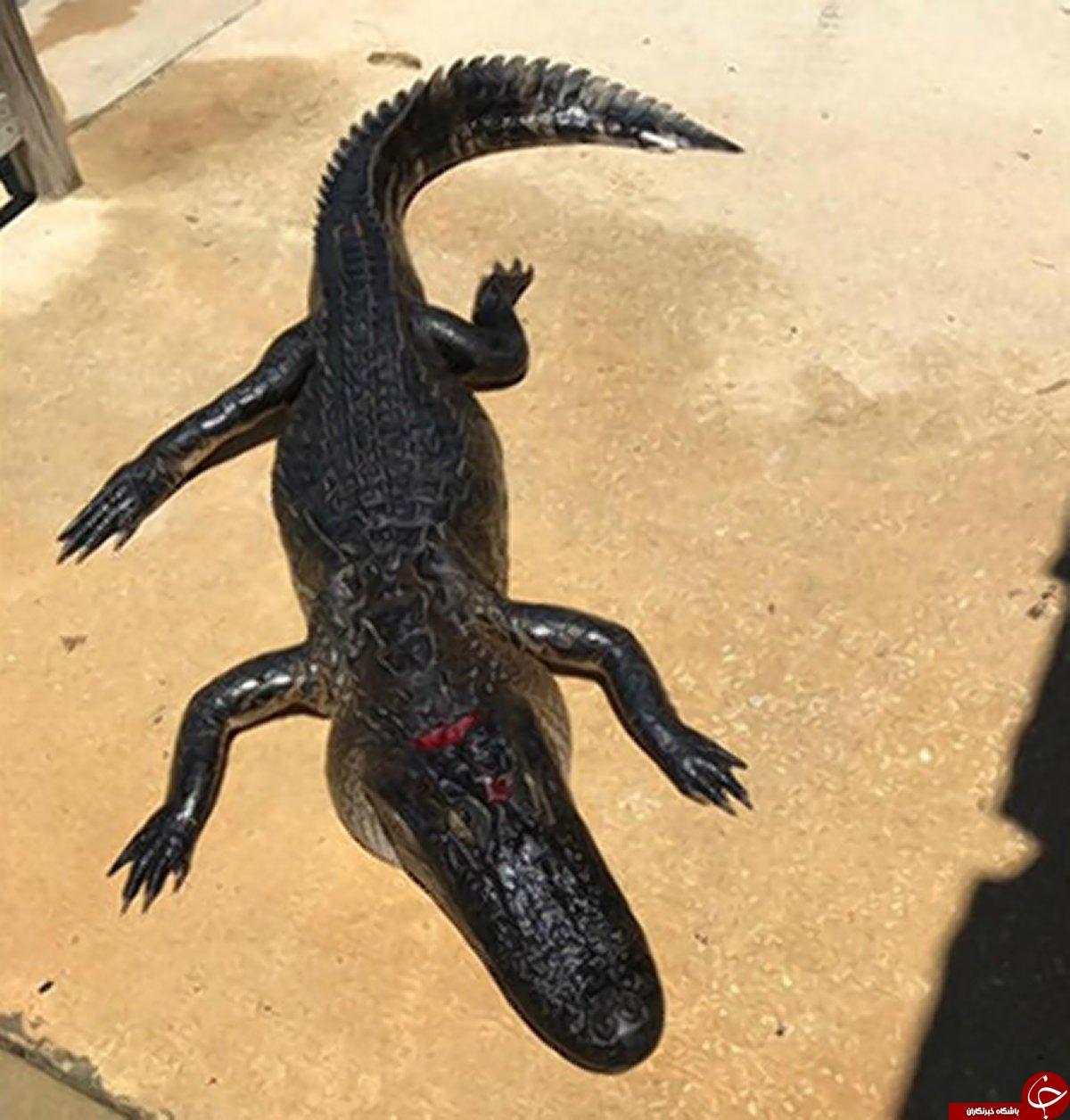حمله تمساح به دختربچه