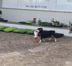 پیتوکو سگ فوق العادهی برزیلی که برای خود غذا می خرد!