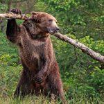 خرس گریزلی بازیگوش که سوژه نگهبان حیات وحش شده است!