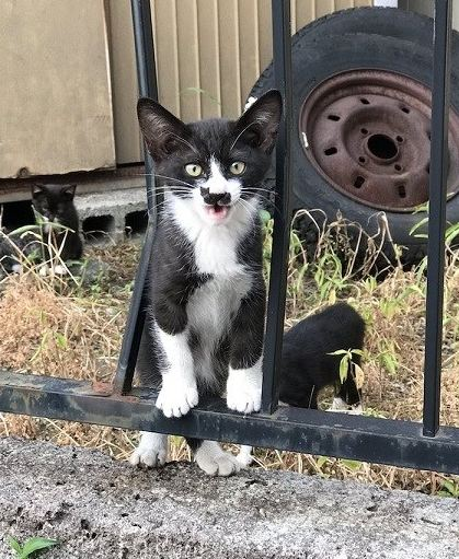 گربه ژاپنی