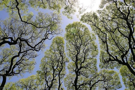 پدیده تاج های خجالتی در درختان