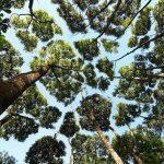 پدیده تاج های خجالتی در درختان که مانع لمس یکدیگر می شوند!