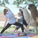 کلاس های یوگا در میان حیوانات آلپاکا در کانادا!