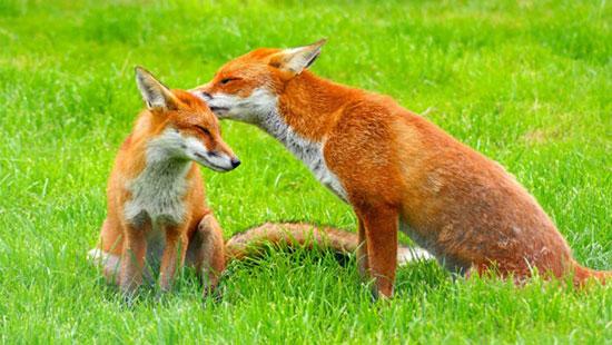 دانستیها درباره روباه