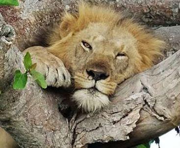 دو شیر که بر روی شاخه های درخت می خوابند!