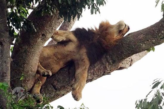 خواب شیر روی درخت
