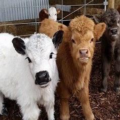 گاو هایلند یک نژاد گاو اسکاتلندی که بسیار دوست داشتنی است!