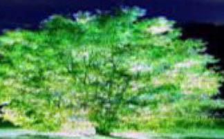 درخت هایی که در شب بطور عجیبی نورانی می شوند!
