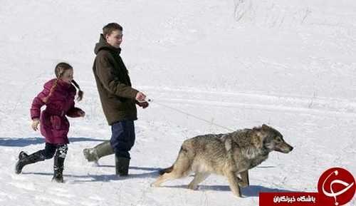 زندگی با گرگ های وحشی