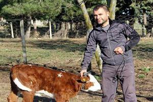 ماجرای گاو قیمتی و یک میلیون دلاری در ترکیه چیست؟!