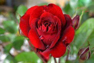 زیباترین گلهای رز در جهان که نماد عشق و دوستی هستند!(۲)