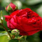 زیباترین گل رزهای جهان که نماد عشق و دوستی هستند!(۱)