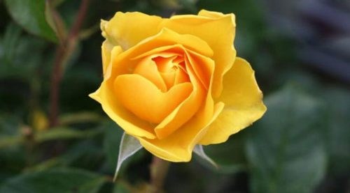 زیباترین گل رز