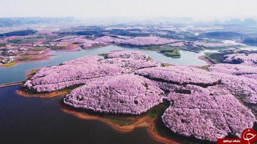 فستیوال شکوفه های گیلاس