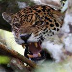 پلنگ های برزیلی که برای نجات جان خود به درختان پناه بردنده اند!