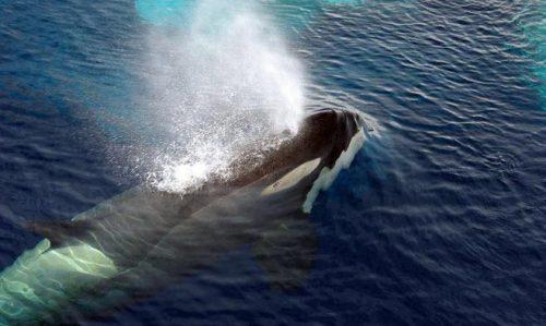 صحبت کردن نهنگ قاتل