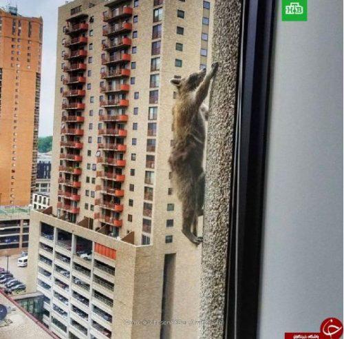 بالا رفتن یک راکون از یک ساختمان