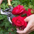 ۵ روش برای پرورش بهتر گل رز
