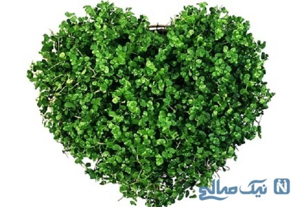 سبزه به شکل قلب