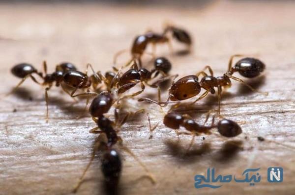 از بین بردن مورچه در منزل