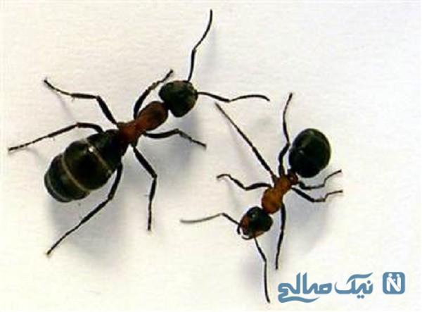 چگونه مورچه ها را فراری دهیم؟