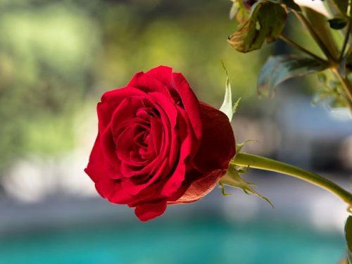 پرورش گل رز