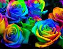 شش رنگ مختلف رزها چه میگویند(عشق ومحبت و دوستی)