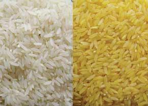 برنجهایی که به صورت مصنوعی قد میکشند