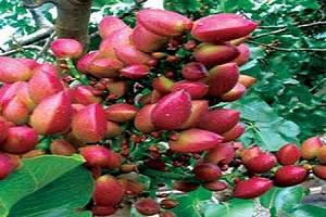 اصول پرورش و مراقبت از درخت پسته