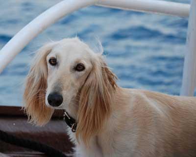 سگ سالوکی