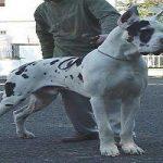 پرورش و نگهداری از سگ گریت دین