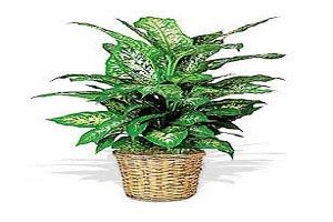 نگهداری از گل دیفن باخیا سمی ترین گیاه در منازل