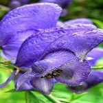 پرورش و نگهداری گل بسیار سمی تاج الملوک