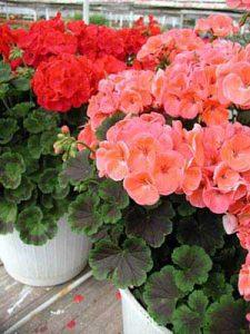 آموزش نگهداری و پرورش گل شمعدانی