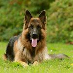 آشنایی کامل با سگ ژرمن شپرد