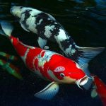 ماهی کوی | پرورش ، تکثیر و نگهداری از ماهی کوی ژاپنی