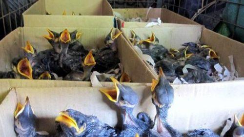 مرغ مینا گوشواره ای