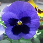 آشنایی با گل بنفشه گیاه دارویی پرخاصیت