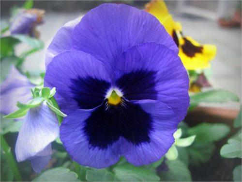 گل بنفشه