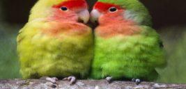 نگهداری و دستی کردن مرغ عشق