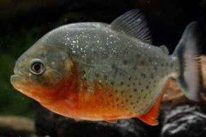 روش نگهداری و پرورش ماهیان گوشتخوار آکواریومی