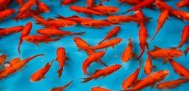با این روش های جدید ماهی قرمز شب عید خود را تا مدتها نگهداری کنید
