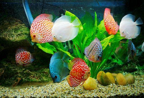 ماهیان گیاه خوار