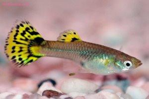 روش نگهداری و پروروش ماهیان گیاه خوار آکواریومی