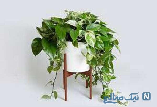 گیاه آپارتمانی رونده