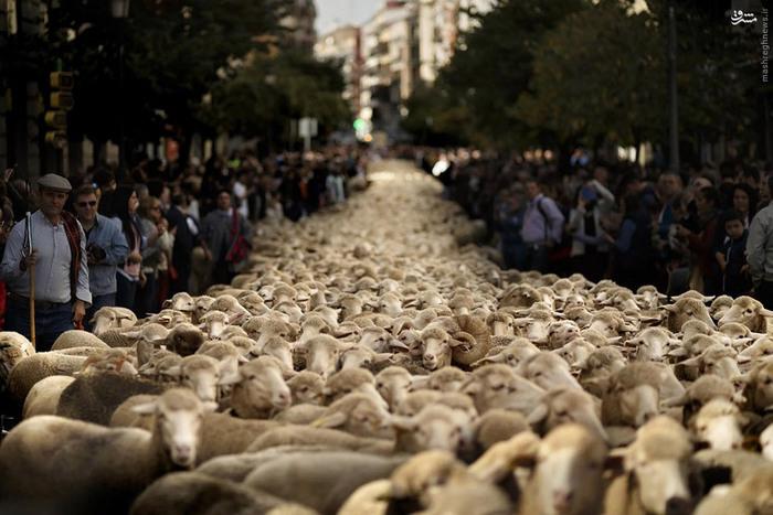 راهپیمایی گوسفندها در مادرید + تصاویر