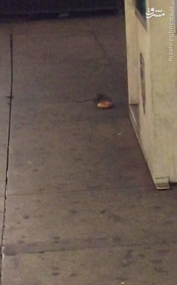 موش پیتزا خور + تصاویر